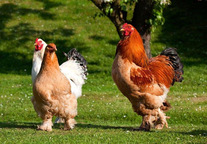 Vista de unas gallinas y una gallo caminando sobre el césped